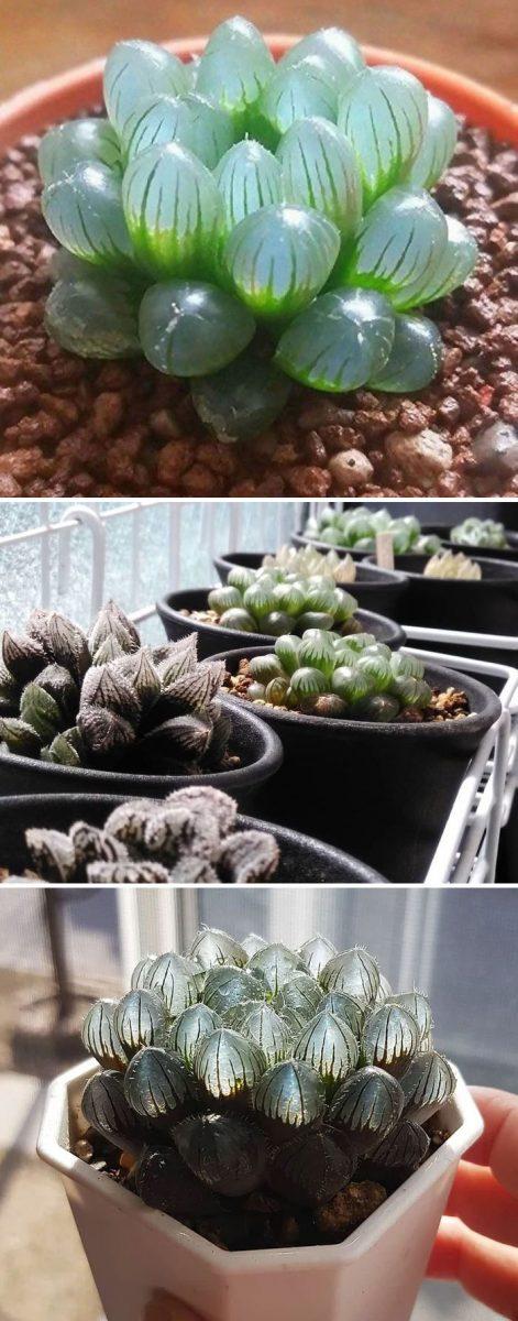 unusual succulent plants 49 5ec2a2f8080f6 700 scaled - Essas 15 suculentas são as coisas mais lindas (e incomuns) que você verá hoje