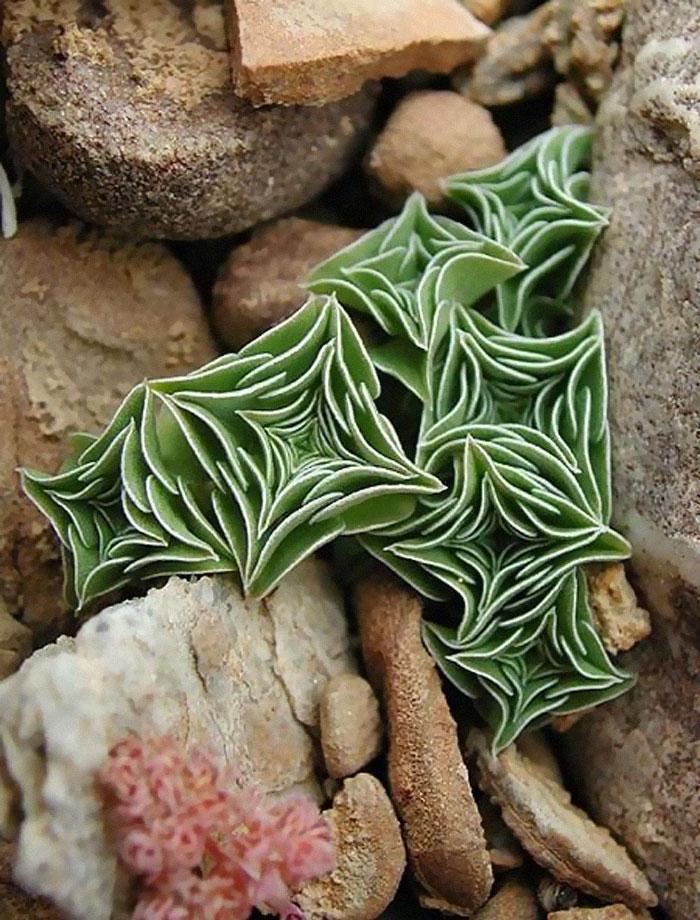 unusual succulent plants 5ebd362c7dea2 700 - Essas 15 suculentas são as coisas mais lindas (e incomuns) que você verá hoje