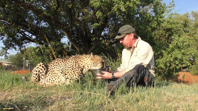 1 24 - Cheetah encontra fotógrafo cochilando embaixo de uma árvore e se junta a ele