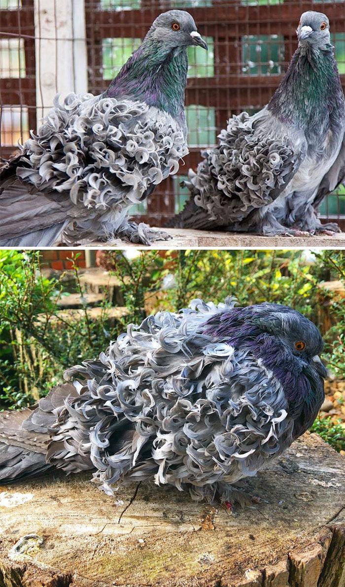 pombo10 - 10 espécies de pombos que vão te fazer olhar diferente para esses animais nas ruas