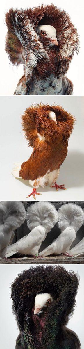 pombo4 scaled - 10 espécies de pombos que vão te fazer olhar diferente para esses animais nas ruas