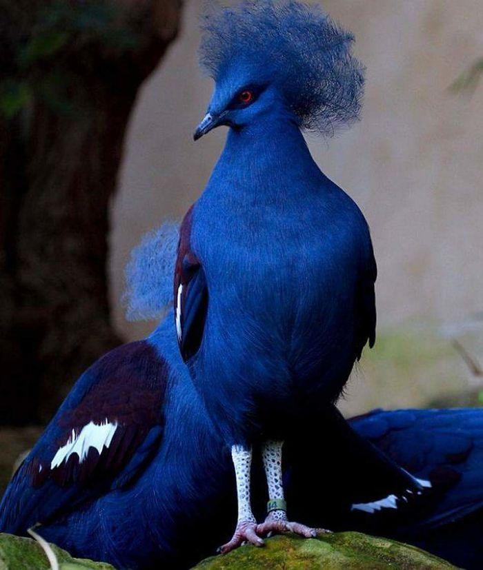 pombo7 - 10 espécies de pombos que vão te fazer olhar diferente para esses animais nas ruas