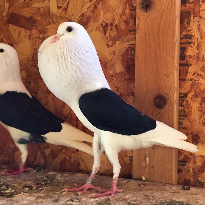 pombo8 - 10 espécies de pombos que vão te fazer olhar diferente para esses animais nas ruas