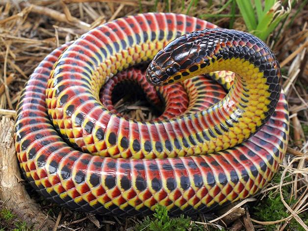 Cobra arco íris 01 - Depois de meio século, cobra arco-íris é vista na natureza novamente