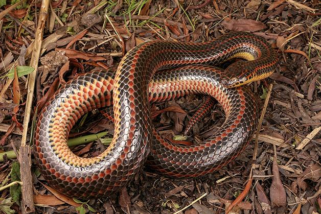 Cobra arco íris 03 - Depois de meio século, cobra arco-íris é vista na natureza novamente