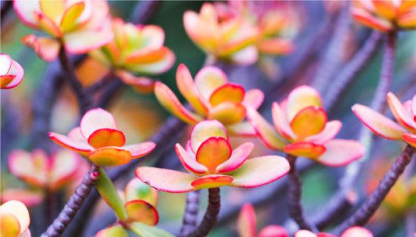 Crassulaovata - Suculentas cor-de-rosa são opções lindas e práticas para colorir seu jardim
