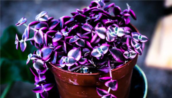 Crassulapellucida - Suculentas cor-de-rosa são opções lindas e práticas para colorir seu jardim