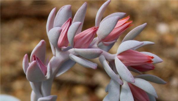 Echeverialaui - Suculentas cor-de-rosa são opções lindas e práticas para colorir seu jardim