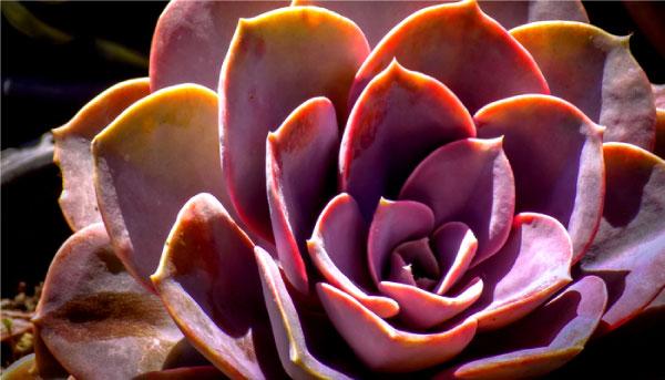 PachyphytumOviferum - Suculentas cor-de-rosa são opções lindas e práticas para colorir seu jardim