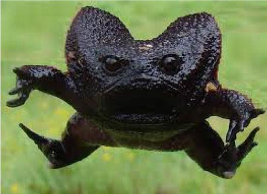 """sapo preto 1 - Esse """"sapo preto"""" é conhecido como o animal mais rabugento do mundo"""