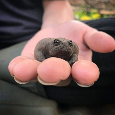 """sapo preto chuva mao - Esse """"sapo preto"""" é conhecido como o animal mais rabugento do mundo"""