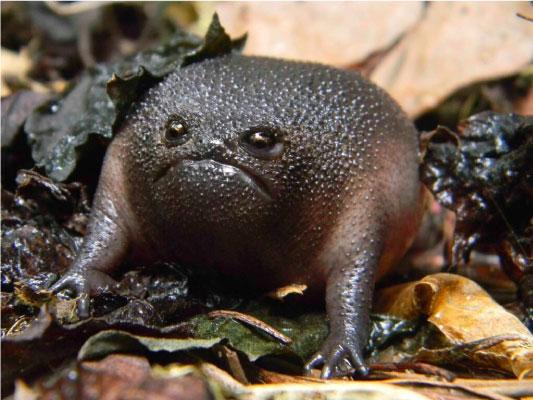 """sapo preto chuva - Esse """"sapo preto"""" é conhecido como o animal mais rabugento do mundo"""