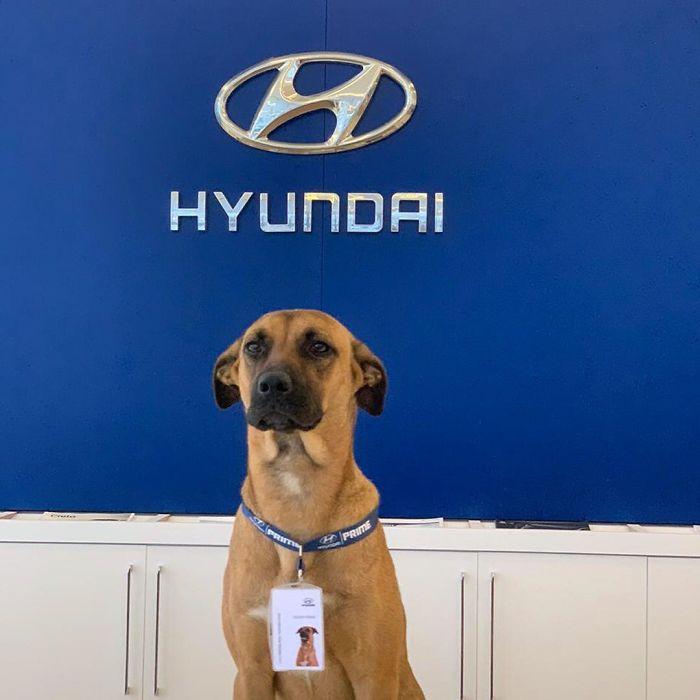 116428170 289491508935921 2060885657965600523 n 5f2d37607ec00 700 - Após varias visitas a Hyundai, cachorro de rua se torna empregado e recebe seu próprio crachá