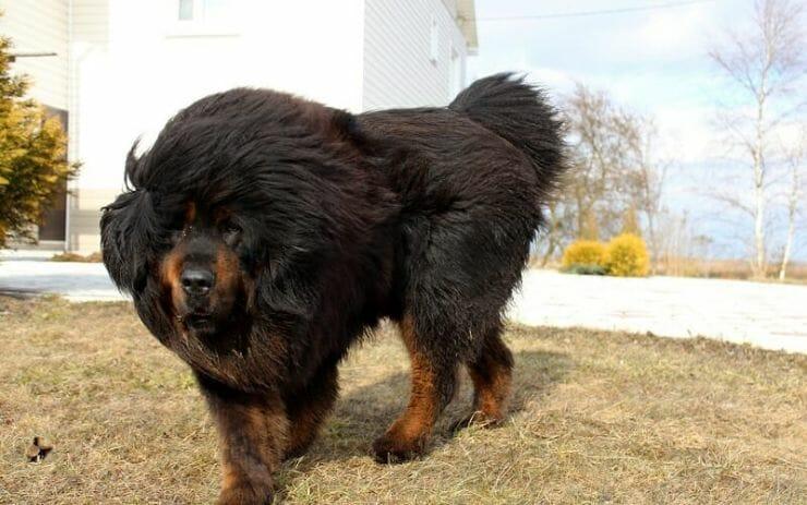 425529 Kycb 2560x1600 e1526506933121 - Depois de 2 anos, chinesa percebe que o cachorrinho que adotou, na verdade era um urso