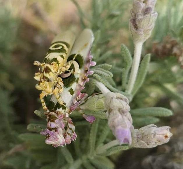 """EDIT Flower Mantis 01 - Esse maravilhoso louva-deus """"floral"""" foi encontrado na África do Sul"""