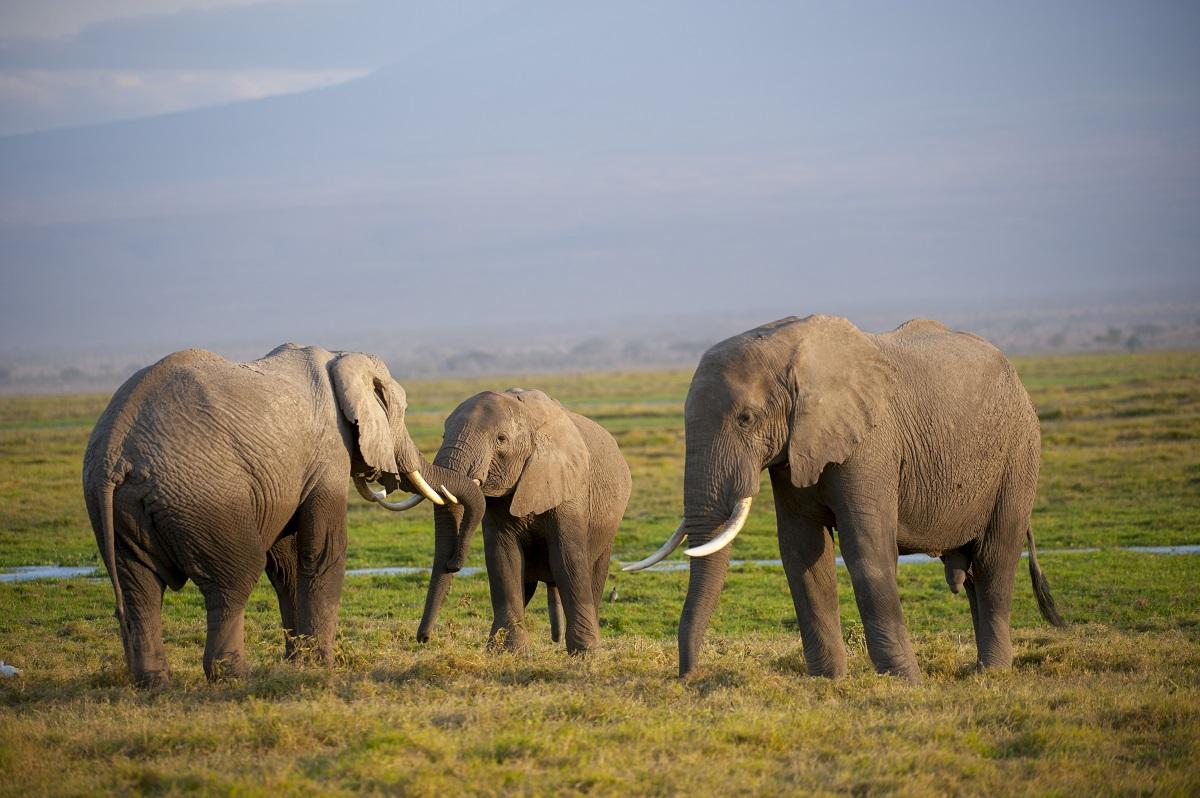 Elefantes 1 - Esperança! Baby boom de elefantes no Quênia impressiona especialistas no mundo todo