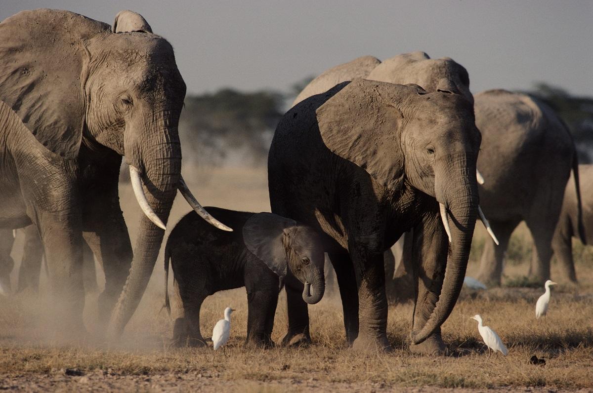 Elefantes 3 - Esperança! Baby boom de elefantes no Quênia impressiona especialistas no mundo todo
