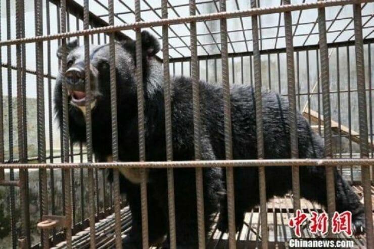 b4761c96a0facc754b6bdf1beb81a93e e1526506939896 - Depois de 2 anos, chinesa percebe que o cachorrinho que adotou, na verdade era um urso