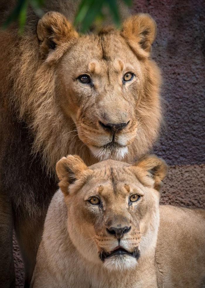 casalleao3 - Casal de leões idosos são colocados para dormir juntos para que um não tenha que viver sem o outro