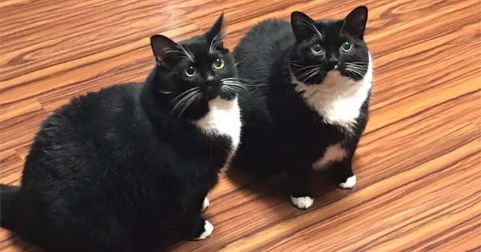 gatinhos - Russo perde gato, 'encontra' gato, seu gato volta e agora ele tem dois idênticos