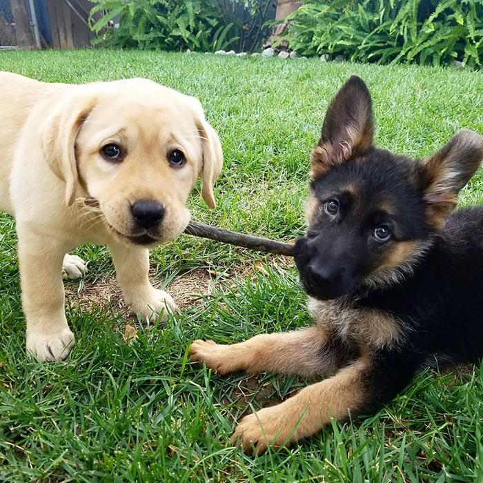 german shepherd cute puppies 1 5f3105537de7a 700 - Filhotes de pastores alemães são com toda certeza os animais mais puros do mundo