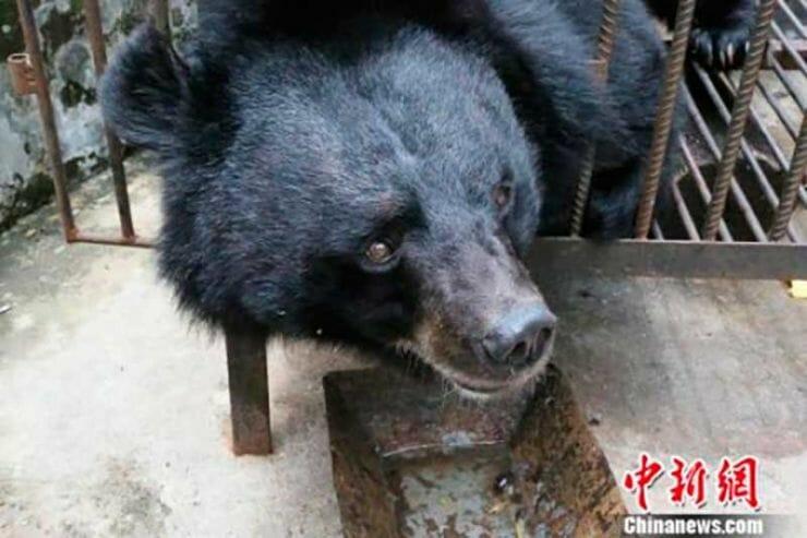 perroso01 e1526506951921 - Depois de 2 anos, chinesa percebe que o cachorrinho que adotou, na verdade era um urso