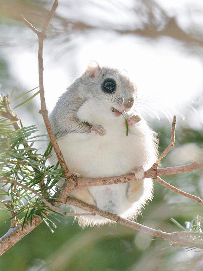 siberian japanese dwarf flying squirrel 1 - Esses esquilos voadores japoneses provavelmente são os animais mais fofos do mundo