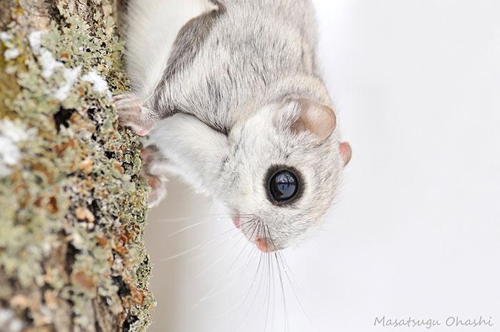 siberian japanese dwarf flying squirrel 16 - Esses esquilos voadores japoneses provavelmente são os animais mais fofos do mundo