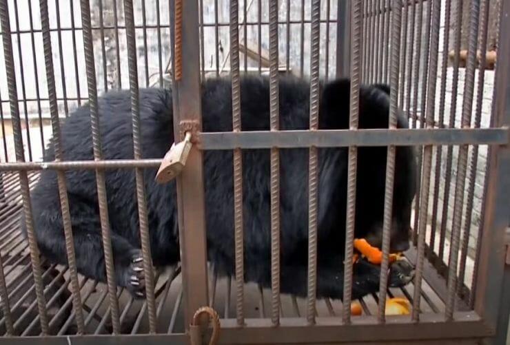 urso e1526506957326 - Depois de 2 anos, chinesa percebe que o cachorrinho que adotou, na verdade era um urso