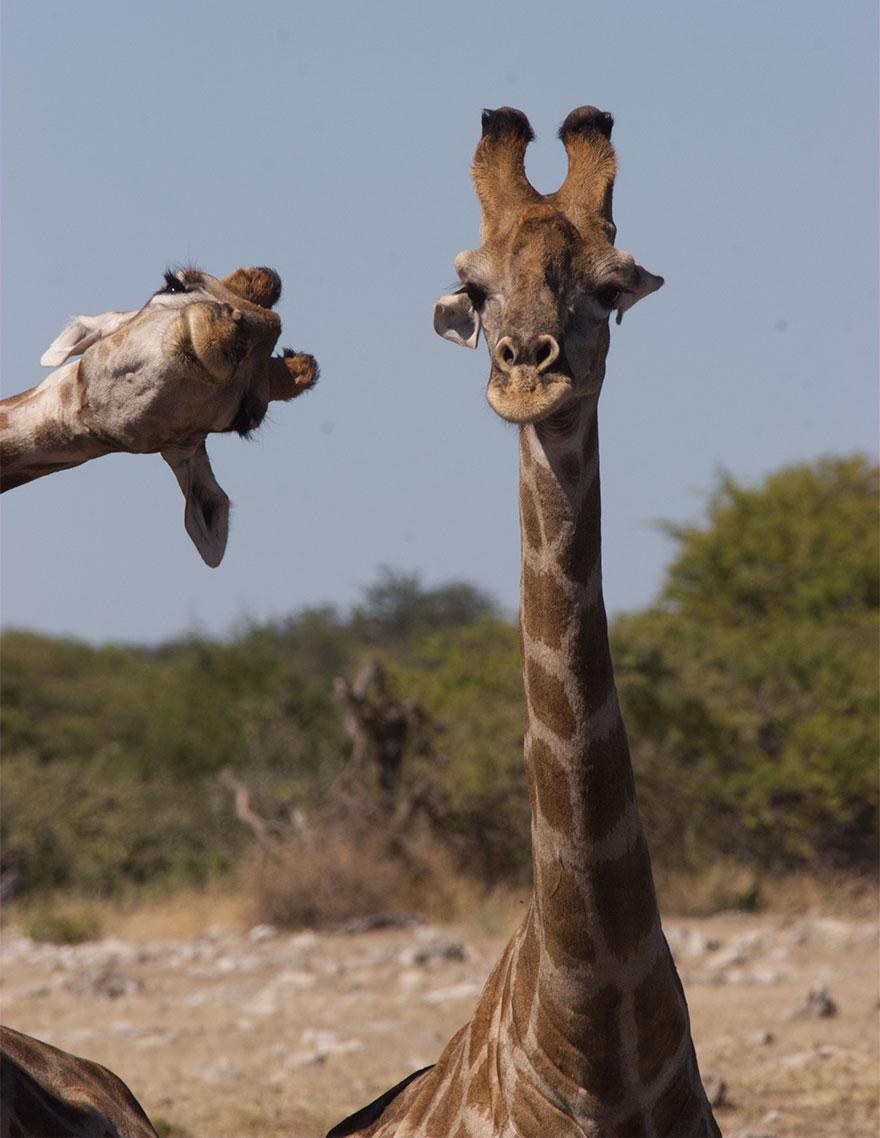 animais14 - Finalistas do Prêmio de Fotografia de Vida Selvagem de Comédia são anunciados e as fotos são surpreendentes