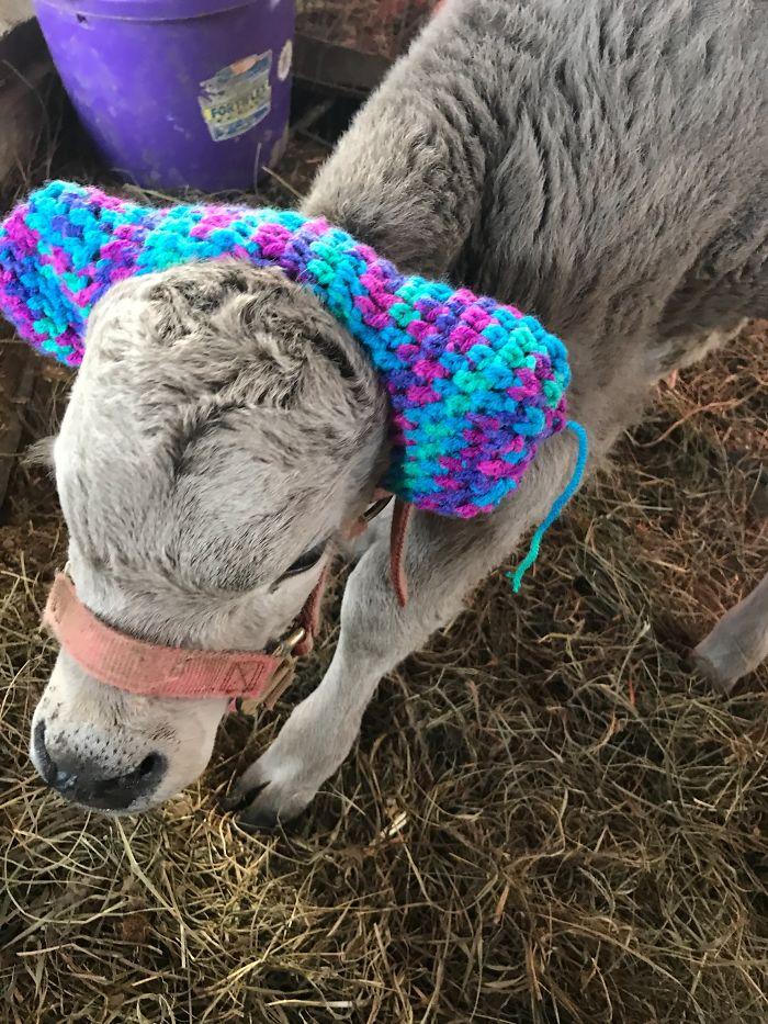 bezerro2 - Bezerros recém nascidos estão ganhando protetores de ouvido para protegê-los do frio