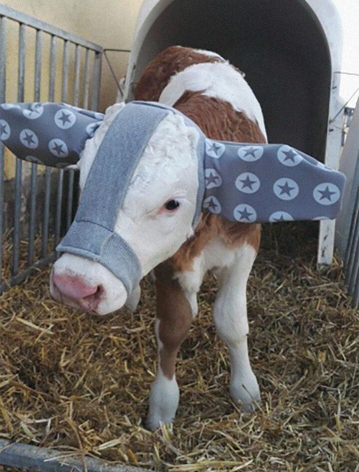 bezerro4 - Bezerros recém nascidos estão ganhando protetores de ouvido para protegê-los do frio