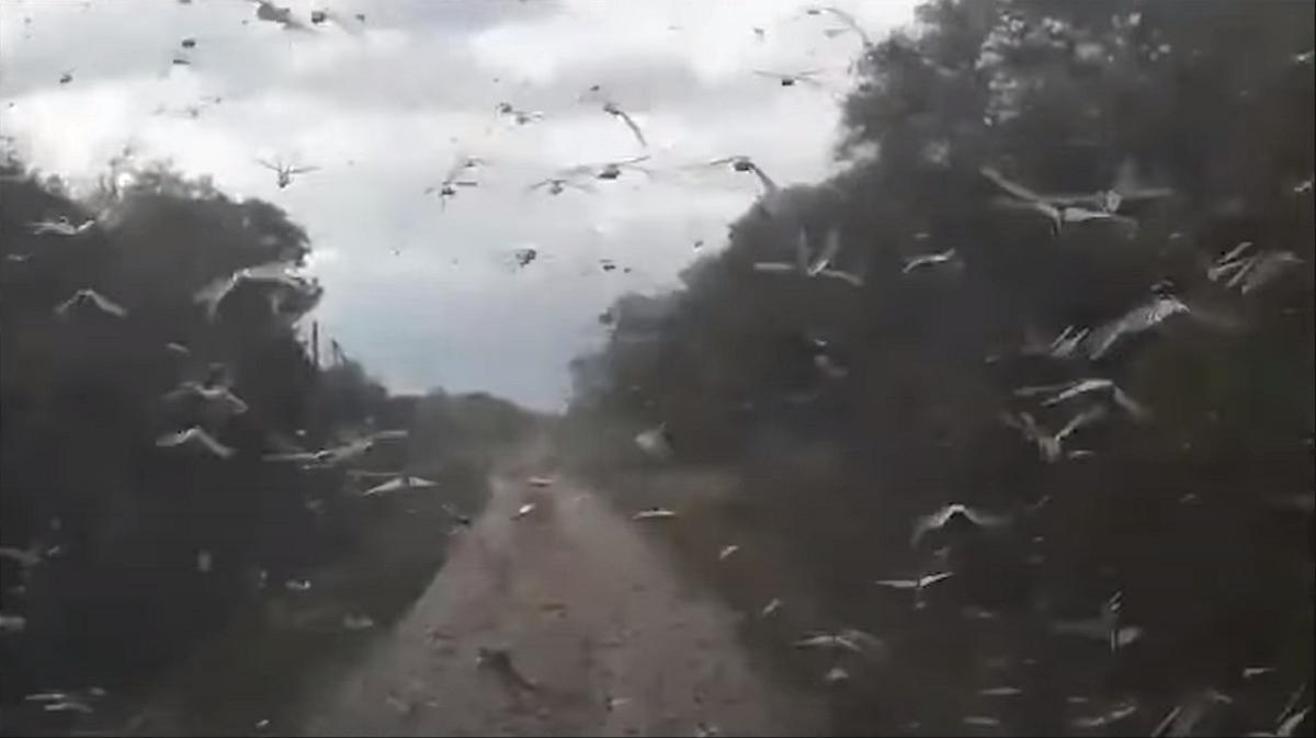 Sem titulo 1 - Uma nuvem de gafanhotos se aproxima da fronteira com Brasil novamente, alerta Argentina