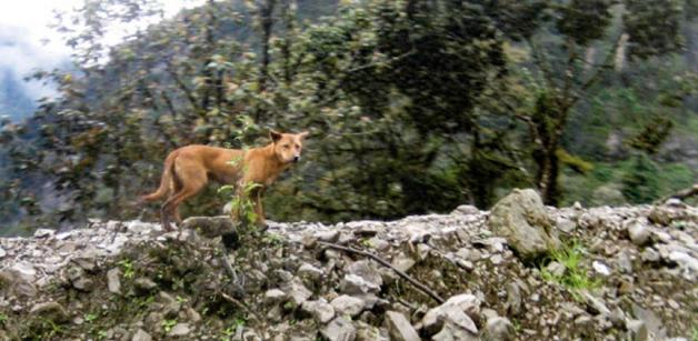 dog4 - O cachorro mais antigo e raro do mundo é encontrado na natureza