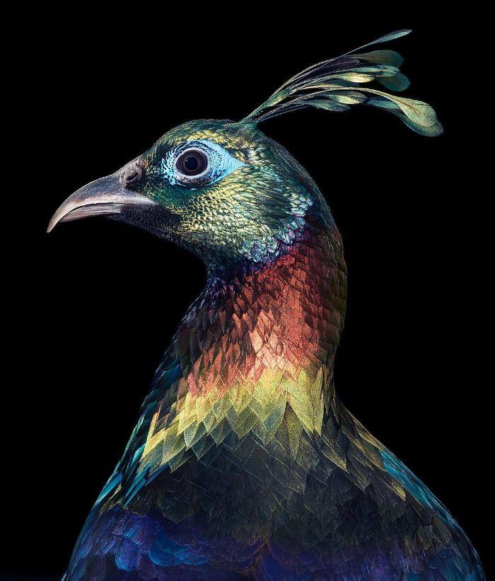 endangered photo portraits birds tim flach 1 14 5fae3a6d08897 700 - Aqui estão 10 incríveis pássaros raros ameaçados de extinção