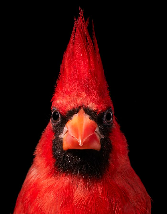 endangered photo portraits birds tim flach 1 19 5fae3a7705be9 700 - Aqui estão 10 incríveis pássaros raros ameaçados de extinção