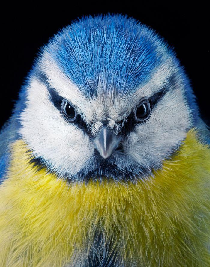 endangered photo portraits birds tim flach 1 2 5fae3a55193f2 700 - Aqui estão 10 incríveis pássaros raros ameaçados de extinção