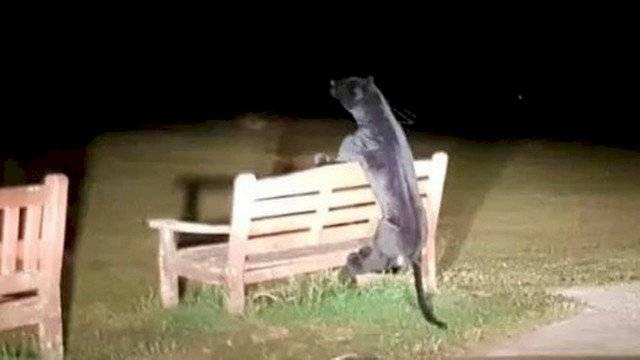 xblogpantherpage 3ddfa2a5d04f671bd1b39c30ba335554 1200x0 1 - Polícia busca pantera negra de quase dois metros solta em parque e faz uma descoberta surpreendente
