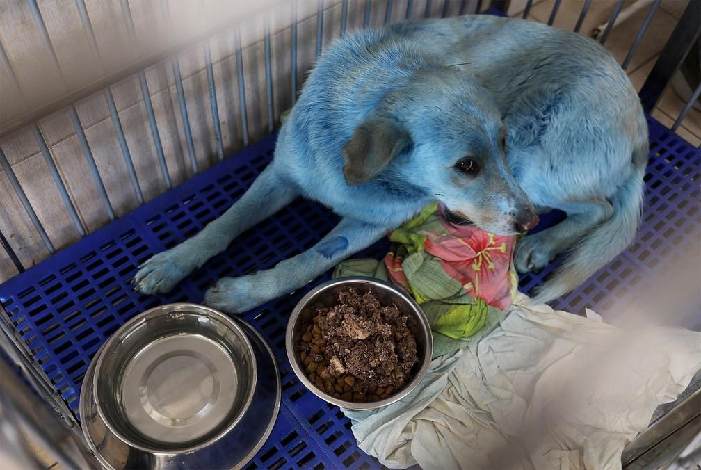 cachorro azul - Cachorros de rua azuis são resgatados perto de fábrica desativada na Rússia