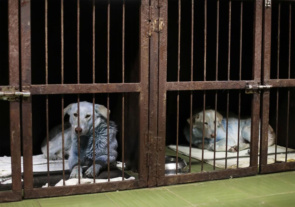 cachorros azuis - Cachorros de rua azuis são resgatados perto de fábrica desativada na Rússia