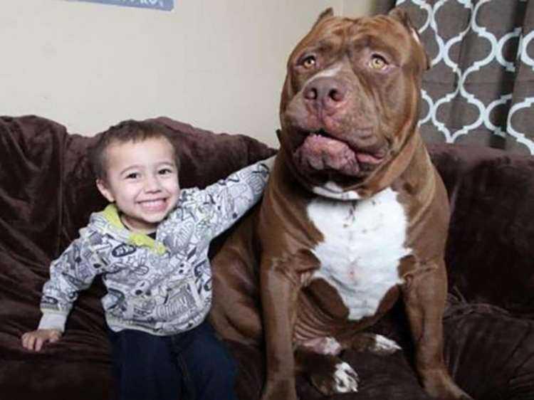 7 107 - Conheça Hulk: considerado o maior pitbull do mundo