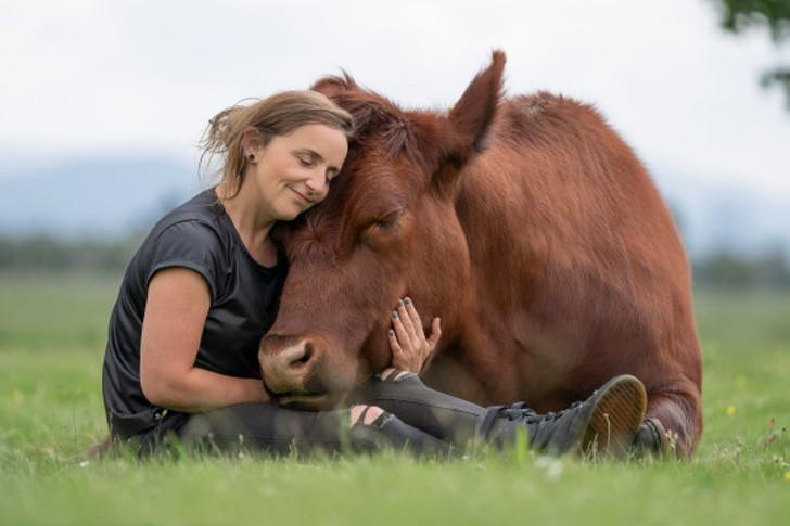 vaca salvar comprar ternero matadero toro bebe gigante0006 - Ela salvou bezerro de ser levado para o matadouro e agora tem um grande touro de estimação