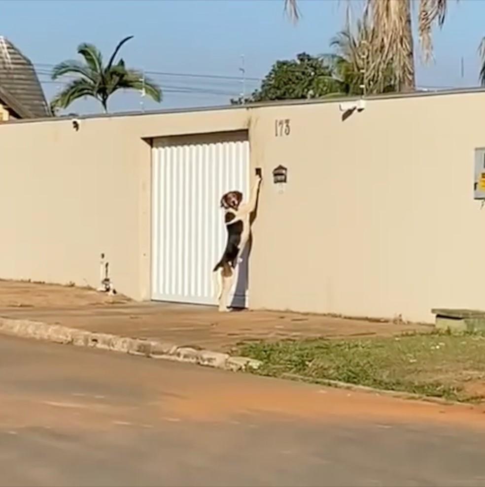 caopainha - Vídeo!! Cão toca campainha para entrar em casa e dono se assusta: 'Pensava que era um fantasma'
